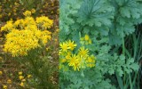 The danger of ragwort